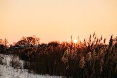 在日落的太阳在芦苇 免版税图库摄影
