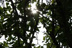 在日落的太阳通过丁香和叶子分支来 E 免版税库存照片