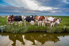 在日落的好奇牛 免版税库存照片