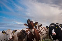 在日落的好奇牛 免版税图库摄影