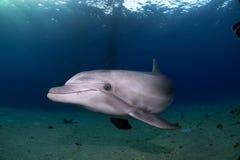 在日落的嬉戏的海豚游泳 库存图片