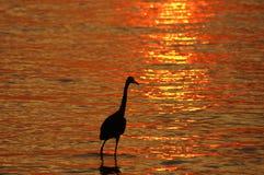 在日落的带红色白鹭 免版税图库摄影