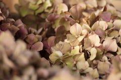 在日落的干燥八仙花属叶子 图库摄影