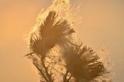 在日落的干花 免版税图库摄影