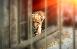 在日落的幼狮 免版税库存照片