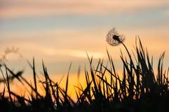 在日落的弯曲的蒲公英 库存图片