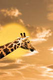 在日落的斑马画象 免版税图库摄影