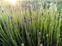 在日落的新的年轻淡紫色芽 免版税库存图片