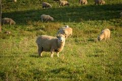在日落的新西兰绵羊 免版税库存图片