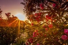 在日落的月桂树 库存照片