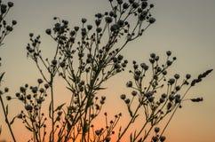 在日落的杂草 库存图片