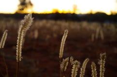 在日落的杂草 库存照片