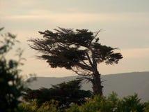 在日落的杉木 免版税库存照片