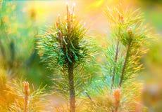 在日落的杉木 免版税库存图片