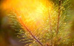 在日落的杉木 库存图片