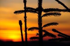 在日落的杉木 图库摄影