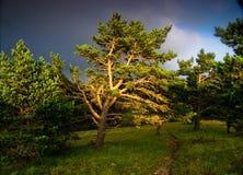 在日落的杉树 免版税图库摄影