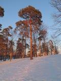 杉木树 库存照片