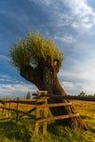 在日落的杨柳 免版税图库摄影