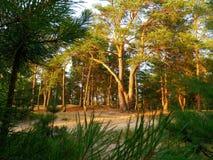 在日落的松林 北部乌克兰 库存照片