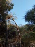 在日落的松林 免版税图库摄影