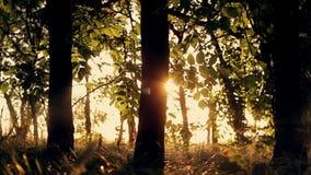 在日落的林木在秋天 树剪影 日落日落火炬 背景蓝色云彩调遣草绿色本质天空空白小束 股票录像