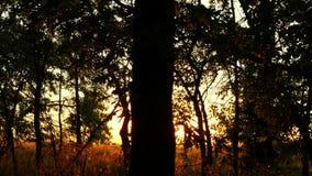 在日落的林木 太阳光芒穿过树分支  背景蓝色云彩调遣草绿色本质天空空白小束 影视素材