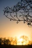在日落的柔荑花 库存图片
