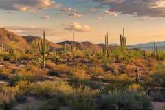 在日落的柱仙人掌在菲尼斯附近的Sonoran沙漠 免版税库存照片