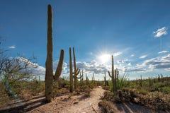 在日落的柱仙人掌在Sonoran沙漠 库存图片
