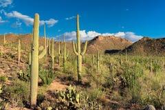在日落的柱仙人掌在Sonoran沙漠 库存照片