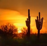 柱仙人掌在日落的仙人掌剪影 库存图片