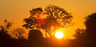 在日落的树在博茨瓦纳 Okavango Delta 闹事 免版税库存照片