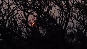 在日落的树在印度 股票录像