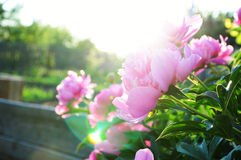 在日落的桃红色牡丹花 免版税库存图片