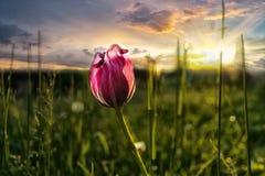 在日落的桃红色郁金香作为自由和幸福的标志 图库摄影