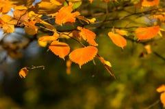 在日落的桤木叶子在秋天 免版税库存图片