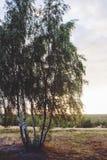 在日落的桦树 免版税库存照片