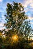 在日落的桦树 免版税库存图片
