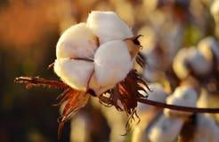 在日落的棉花领域 免版税库存图片