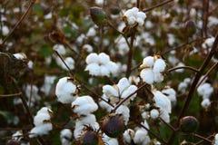 在日落的棉花领域 库存图片