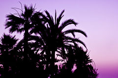 在日落的棕榈树剪影 免版税图库摄影