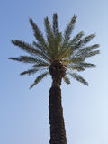 在日落的棕榈树在蓝天 库存图片