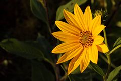 在日落的森林地向日葵 库存图片