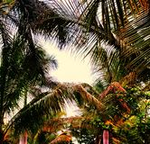 在日落的椰子联合 库存照片