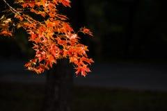 在日落的槭树,兴城市,中国 图库摄影