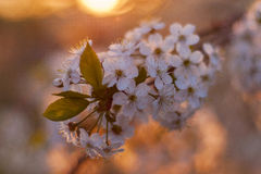在日落的樱桃 库存照片