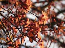 在日落的樱花 库存照片