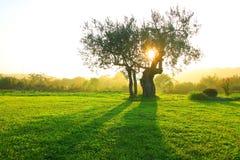 在日落的橄榄树 库存图片