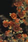 在日落的橙色球葵 免版税库存照片